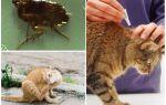 Як вивести бліх у кішки в домашніх умовах народними засобами