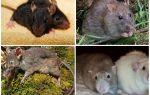 Види щурів — фото і опис