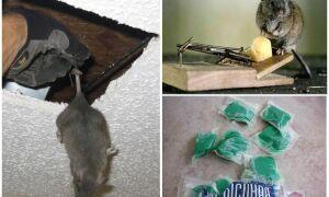 Як позбутися від запаху мишей в будинку, квартирі, дачі, машини