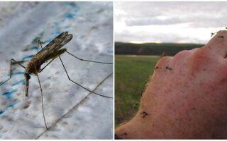 Навіщо в природі потрібні комарі