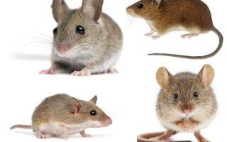 Біологічні особливості будови мишей