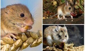 Що їдять миші в домашніх умовах і в природі
