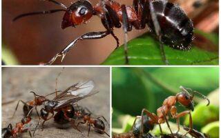 Види мурах – опис і фото з назвами