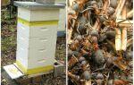 Як позбутися від мурашок на пасіці в вулику з бджолами