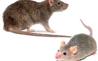 Щури і миші — чим вони відрізняється
