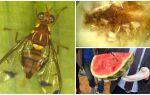 Динна муха: методи боротьби і небезпека для людини