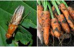 Як боротися з морквяної мухою народними і магазинними засобами
