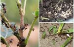 Як боротися з мурахами в саду і городі народними засобами