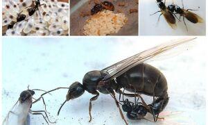 Як розмножуються мурахи