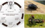 Яйця і личинки мух: фото і опис