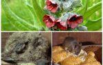 Чернокорень лікарський від мишей — фото і опис