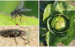 Методи боротьби з капустяної мухою — читайте!