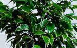 Фікус скидає листя взимку: що робити, причини, фото, види (Бенджаміна, каучуконосний, мелколістний), ніж підгодувати, жовтіє і в'яне