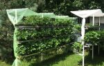 Як правильно посадити полуницю в серпні для великої врожайності