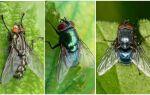 Синя муха: фото і опис
