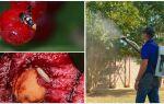 Методи боротьби з вишневою мухою — читайте!