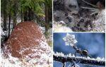 Де і як зимують мурахи