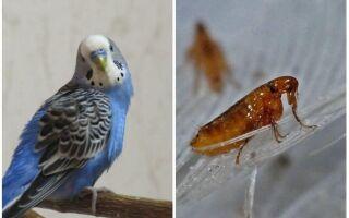 Пташині блохи: або бувають блохи у хвилястих папуг