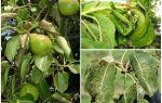 Чим обробити тлю на груші