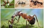 Яку користь приносять мурахи лісі і людям
