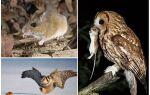 Одна сова знищує за літо до 1000 польових мишей