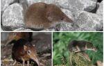 Миша з довгим носом — фото і опис