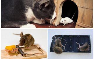 Як позбутися мишей в приватному будинку назавжди народними засобами