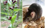 Яку траву не люблять миші