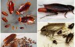 Скільки живуть таргани без води, їжі або голови