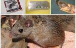 Як зловити мишу в квартирі