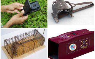 Як позбутися мишей і щурів в приватному будинку народними засобами