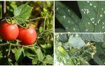 Білі і чорні мушки на помідорах — заходи боротьби