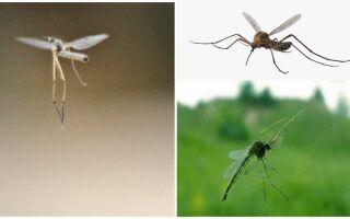 До якого поверху долинають комарі