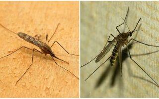 Опис і фото малярійних комарів