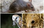 Скільки живуть миші