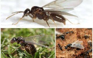 Літаючі мурахи, таблиця літа мурах