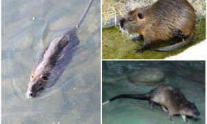 Водяний щур — фото і опис