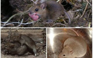 Як розмножуються миші