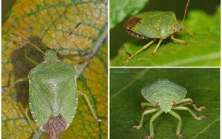 Деревне зелений клоп щитник — фото і опис