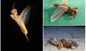 Літає капустянка чи ні