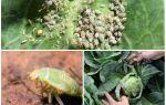 Як боротися з попелицею на капусті народними засобами