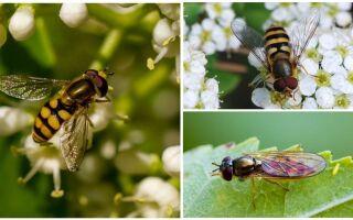 Смугаста муха схожа на осу: назва, фото і опис