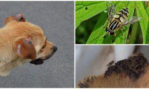 Мухи гризуть вуха у собаки: що робити і чим обробити