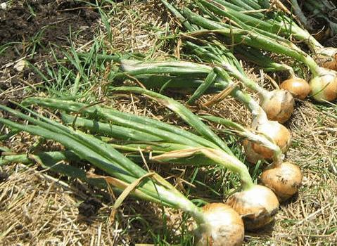 Врожай цибулі