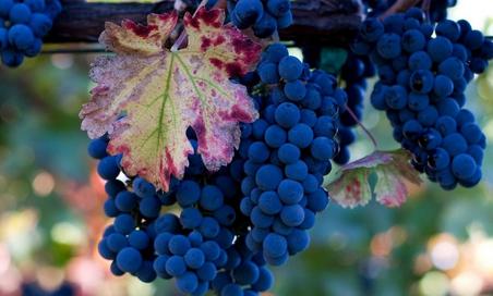 Підготовка Винограду до обробки для вина